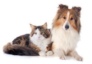 portrait of a purebred shetland dog and maine coon cat in front of white background