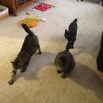 Dosch cats