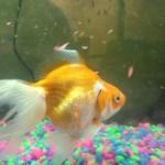 fish, l