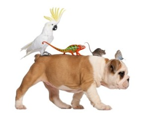 English Bulldog puppy, 2 months old, carrying toucan, chameleon, rat and butterfly walking against white background