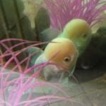kahn fish