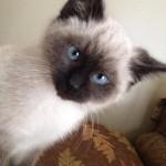 neumeister kitten