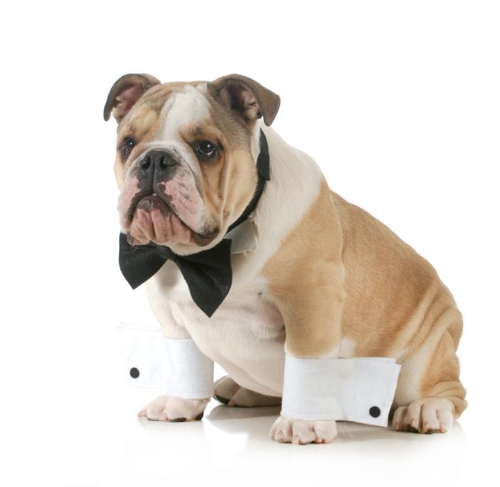 handsome dog - english bulldog dressed up wearing tuxedo isolated on white background